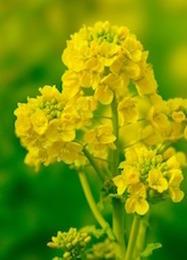 13036_菜の花