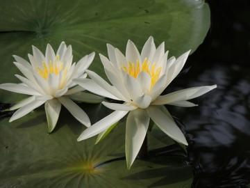 8954_蓮の花2