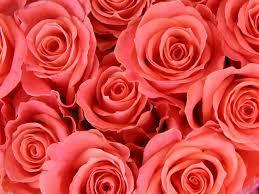 129185_rose2