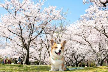 146674_維新公園の桜の前で