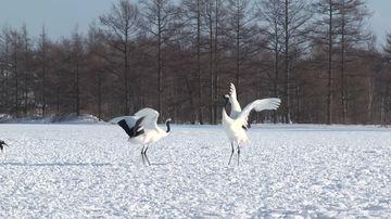157096_858622833-tsurui-ito-tancho-sanctuary-丹頂鶴-雪景色-冬
