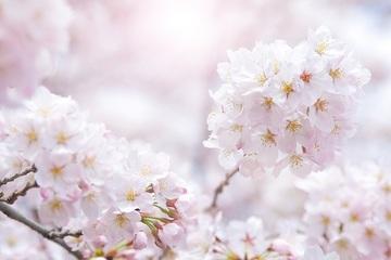 172077_cherry-blossom_00040