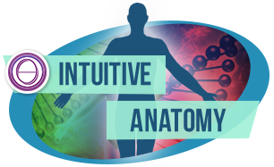 239213_intutive-anatomy