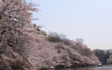 32820_sakura-inokasira