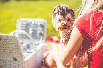 331712_enjoying-sunday-picnic-with-cute-yorkshire-terrier-picjumbo-com