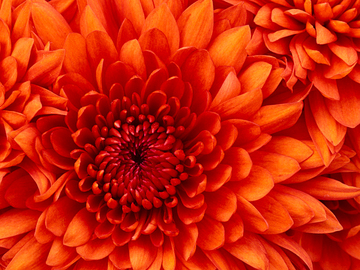 444415_chrysanthemum