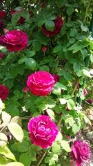69909_バラ濃いピンク
