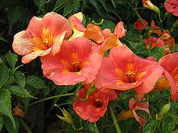 77799_250px-campsisgrandiflora