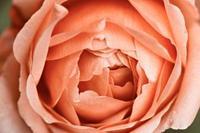 4159_rose